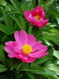Herbaceous peony Stock Photography