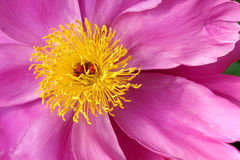 Herbaceous peony flower Stock Image