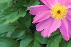 Herbaceous peony flower Stock Photos