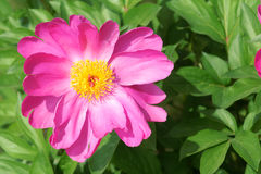 Herbaceous peony flower Stock Photography