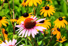 Herbaceous Perennial Flower Echinacea Stock Image