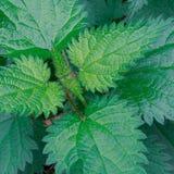 Common nettle, stinging nettle or nettle leaf stock photos