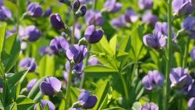 Herbaceous poisonous plant lupins