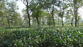 Herbaciana nieruchomość, Dooars Północny Bengalia, India, - zbiory wideo