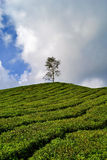 Herbaciana plantacja Obrazy Stock