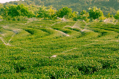 Herbaciana plantacja Obrazy Royalty Free