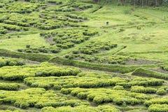 Herbaciana plantacja Fotografia Stock