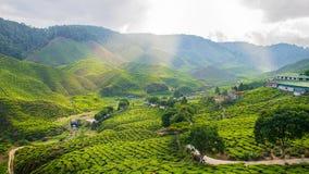 Herbaciana plantacja Zdjęcia Royalty Free