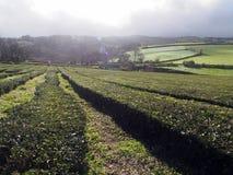 Herbaciana plantacja, Azores Zdjęcie Stock