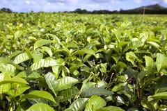 Herbaciana plantacja Mauritius Zdjęcia Stock