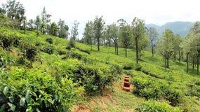 Herbaciana plantacja na średniogórzu w nuwara eliya Sri Lanka Fotografia Royalty Free