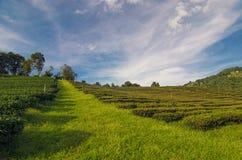 Herbaciana plantacja przy Doi Mae Salong w Chiang Raja, Tajlandia Zdjęcia Stock