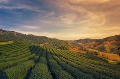 Herbaciana plantacja przy Doi Mae Salong w Chiang Raja, Tajlandia Zdjęcie Stock