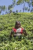 Herbaciana plantacja w Nuwara, Sri Lanka Fotografia Royalty Free