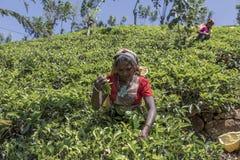 Herbaciana plantacja w Nuwara, Sri Lanka Zdjęcia Stock