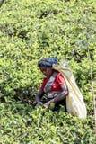 Herbaciana plantacja w Nuwara, Sri Lanka Fotografia Stock