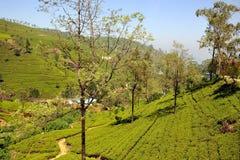 Herbaciana plantacja w Sri Lanka fotografia royalty free