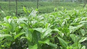 Herbaciana plantacja w Wonosobo borobodur Indonesia Java zdjęcie wideo