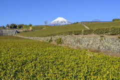 Herbaciana plantacja z Fuji Halnym tłem w słonecznym dniu, Shizuoka, Japonia Fotografia Stock