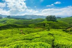 Herbaciane plantacje obrazy royalty free