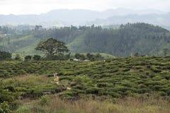 Herbaciane plantacje Ella, Sri Lanka Obrazy Stock