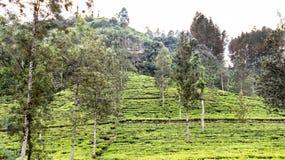 Herbaciane plantacje i góra Zdjęcia Stock