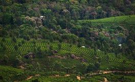 Herbaciane plantacje w wzgórzach zdjęcia stock