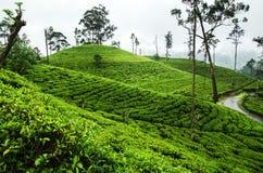 Herbaciane plantacje, wzgórze kraj, Sri Lanka Obraz Royalty Free