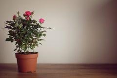 Herbaciane róże Fotografia Royalty Free