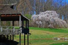 Herbacianego domu Czereśniowy drzewo Obraz Royalty Free