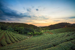 Herbacianej plantaci dolina przy dramatycznym różowym zmierzchu niebem w Tajwan zdjęcie stock