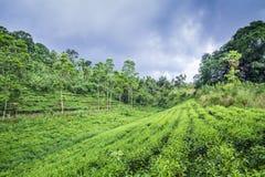 Herbacianej plantaci inSinharaja lasu rezerwa, Sri Lanka Zdjęcia Stock
