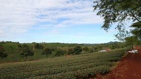 Herbacianej plantaci panning przechyla UP zbiory