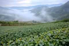 Herbacianej plantaci pola przy świtem z ranek mgłą w odległej dolinie w Pingling, Taipei, Tajwan Zdjęcia Royalty Free