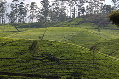 Herbacianej plantaci wzgórze Zdjęcie Royalty Free