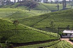 Herbacianej plantaci wzgórze Zdjęcia Stock