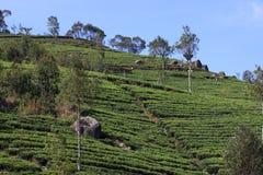 Herbacianej plantaci wzgórze Obrazy Stock