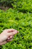 Herbaciani liście przy Herbacianą plantacją Zdjęcie Stock
