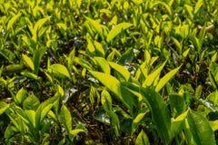 Herbaciani liście w Herbacianej plantaci - Cameron średniogórza Zdjęcie Stock
