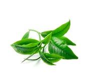 Herbaciani liście z białym tłem obrazy stock