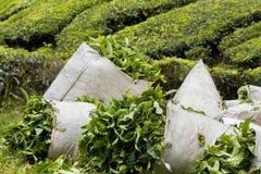 Herbaciani liście zbierający w torbach Fotografia Royalty Free