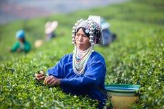 Herbaciani liście Zdjęcie Stock