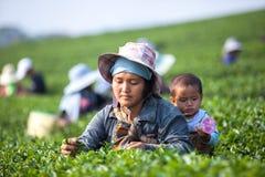 Herbaciani liście Zdjęcia Royalty Free