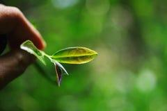 Herbaciani liście Zdjęcia Stock