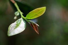 Herbaciani liście Fotografia Royalty Free