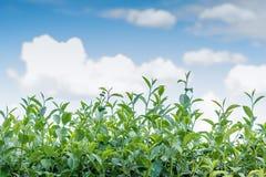 Herbaciani liście z niebem Zdjęcia Stock