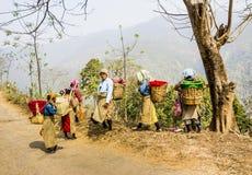 Herbaciani zbieracze darjeeling Obrazy Stock
