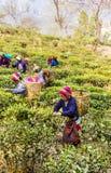 Herbaciani zbieracze darjeeling Fotografia Stock