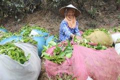 Herbaciani zbieracze Indonezja Obrazy Royalty Free