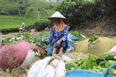 Herbaciani zbieracze Indonezja Zdjęcie Stock